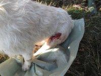 Istarski gonič vlasnika Željka Jovanovića povređen u lovu na divlje svinje